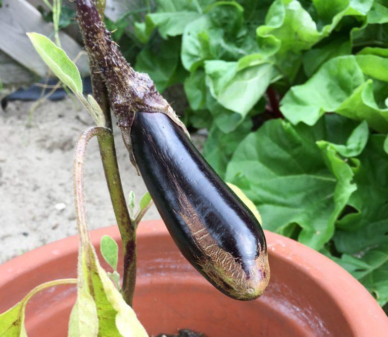 Kleine aubergine uit eigen tuin